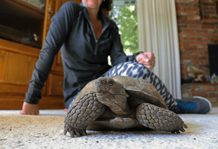Tortoise on carpeted floor in a living room, with a woman in a grey sweatshirt sitting behind it.