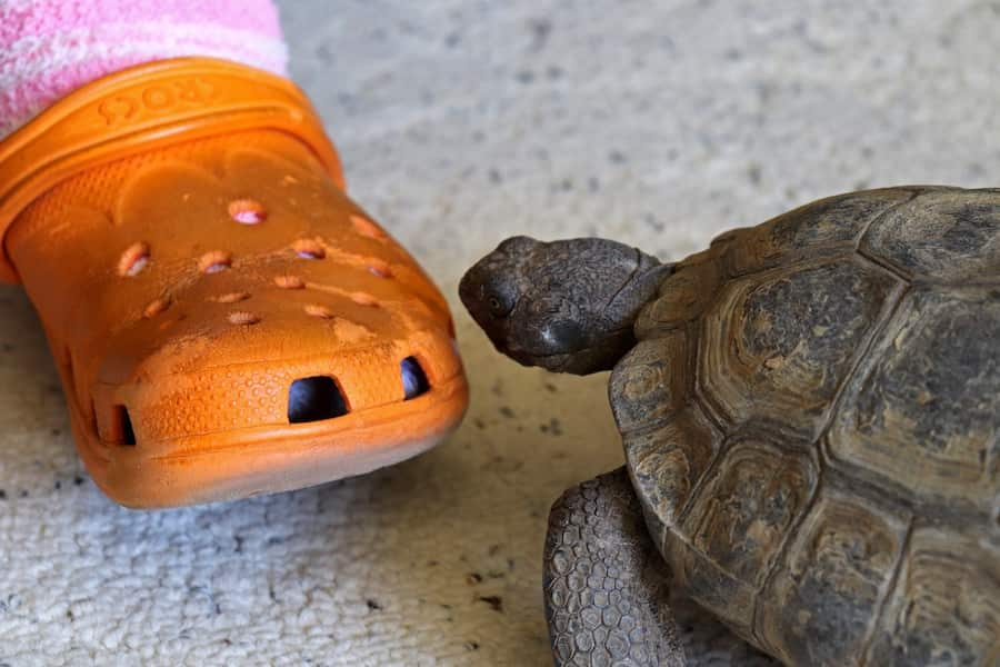 A tortoise looks at an orange plastic shoe.