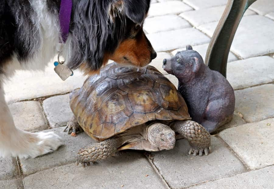 A dog sniffs a tortoise, which stands next to a squirrel statuette.