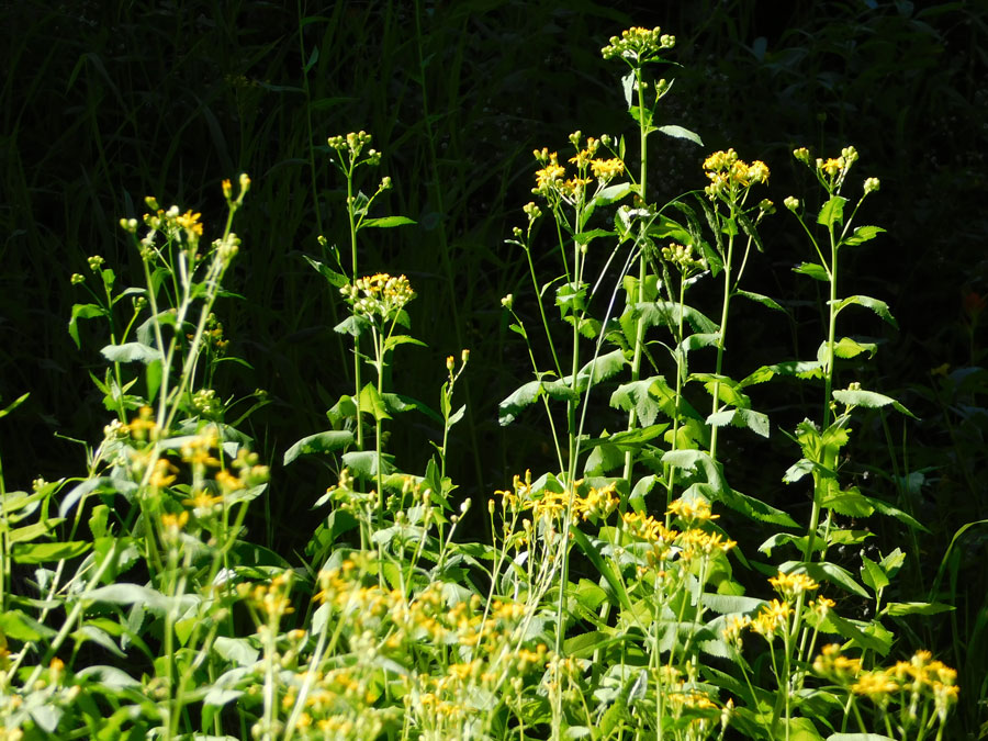 A mass of tiny yellow flowers atop leafy stalks.