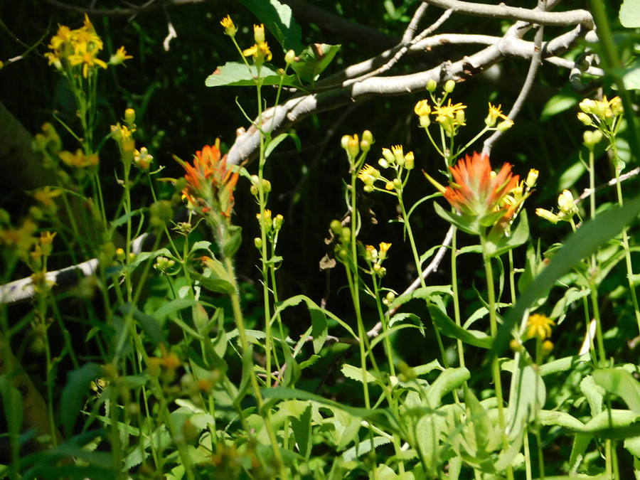 A  mass of splayed, clover-like orange flowers on leafy stalks.