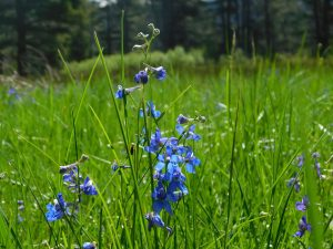 Deep blue flowers on a stalk against a background of tall, green grass.