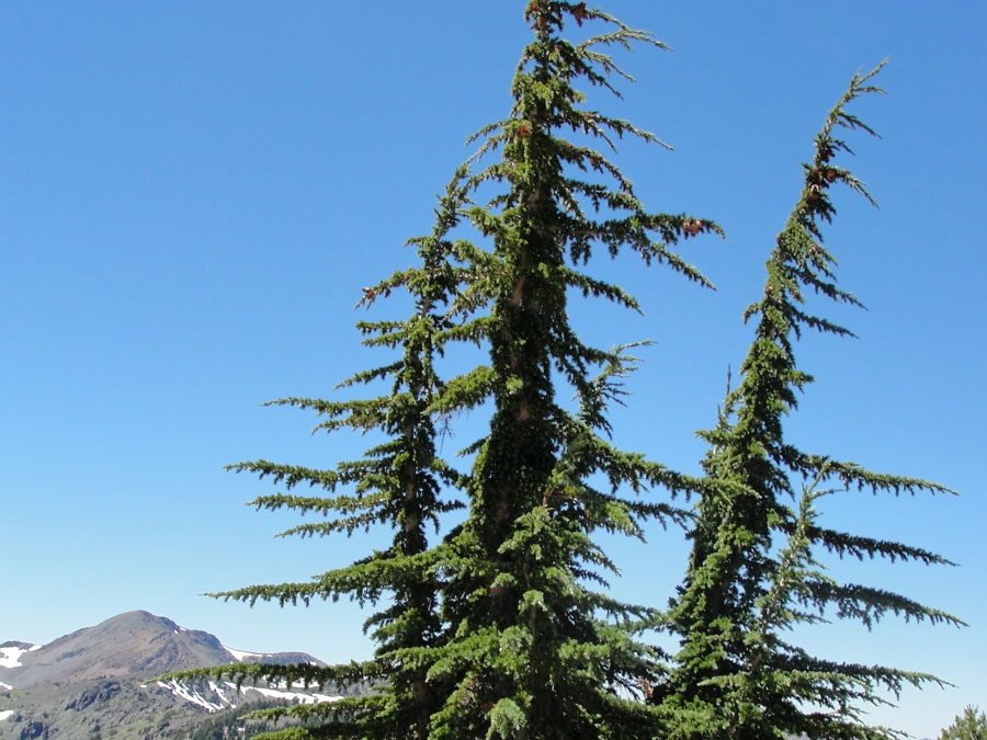 Three tall trees against a blue sky, with a bare mountaintop in the distance.