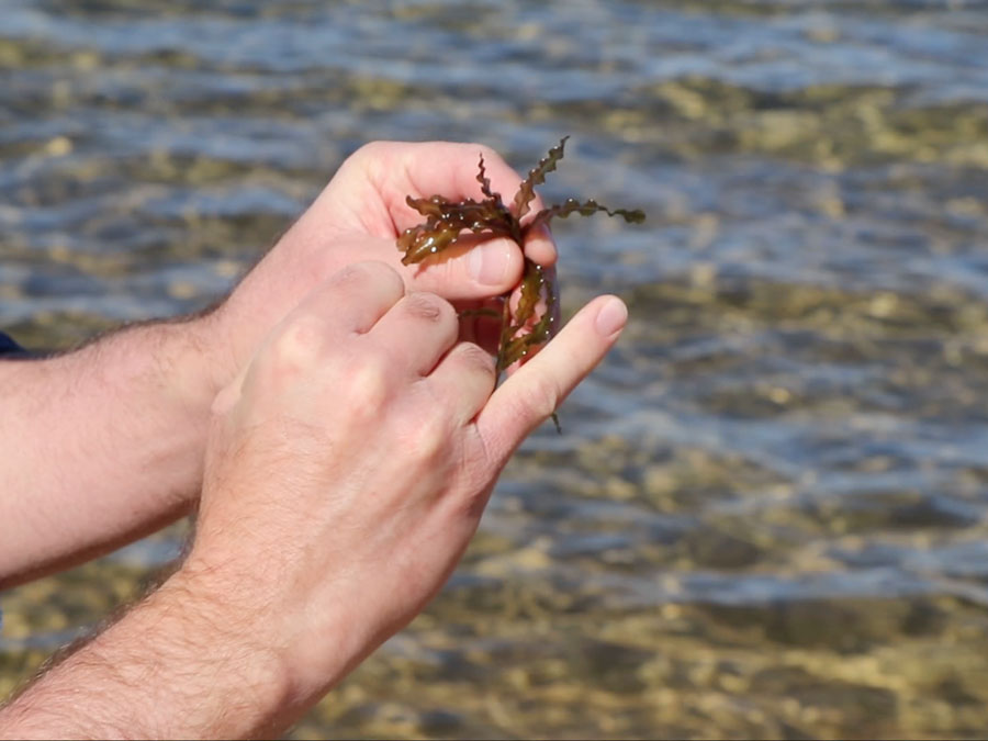 A white man's hands holding a small piece of a water plant, with shallow water of lake in the background.