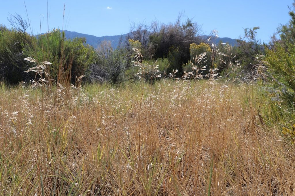 Golden-brown cheatgrass