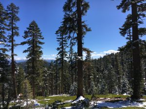 Photo of the Sagehen Creek area, just north of Truckee, California. Tall pine trees with patchy snow on the ground.