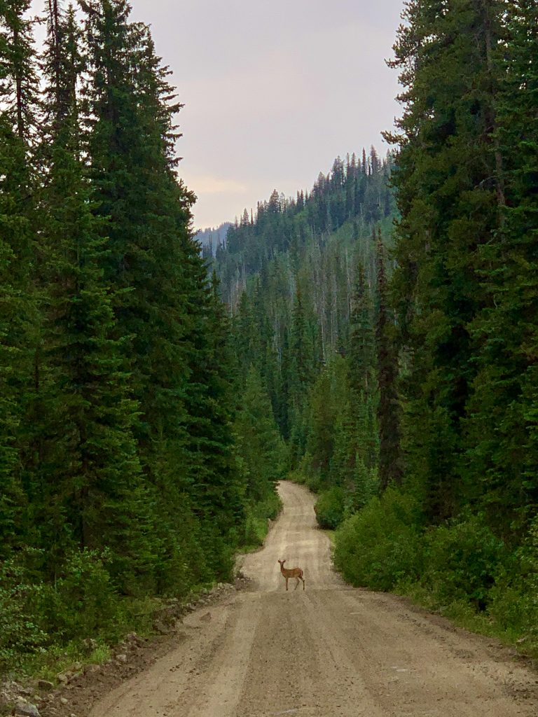 A deer stands on a dirt road in the forest