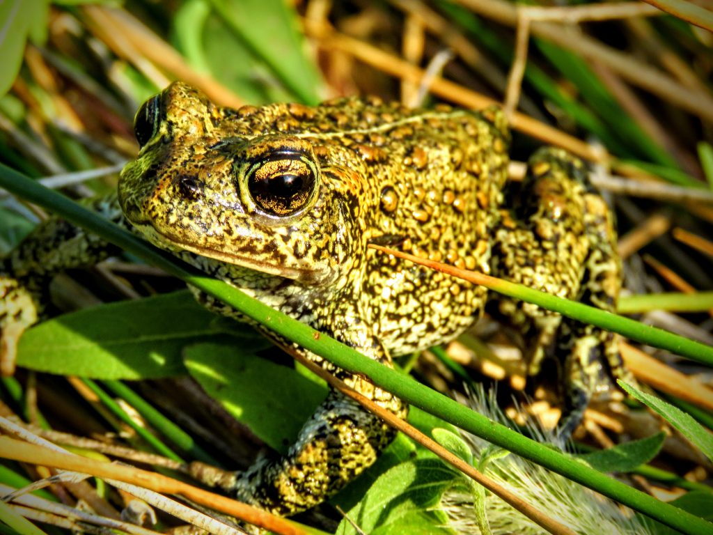 A photo of the Dixie Valley Toad. It is green with brown spots, and has golden eyes.