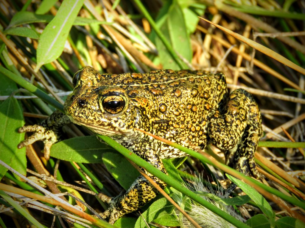 A photo of the Dixie Valley Toad. It is green with black speckles and brown spots.