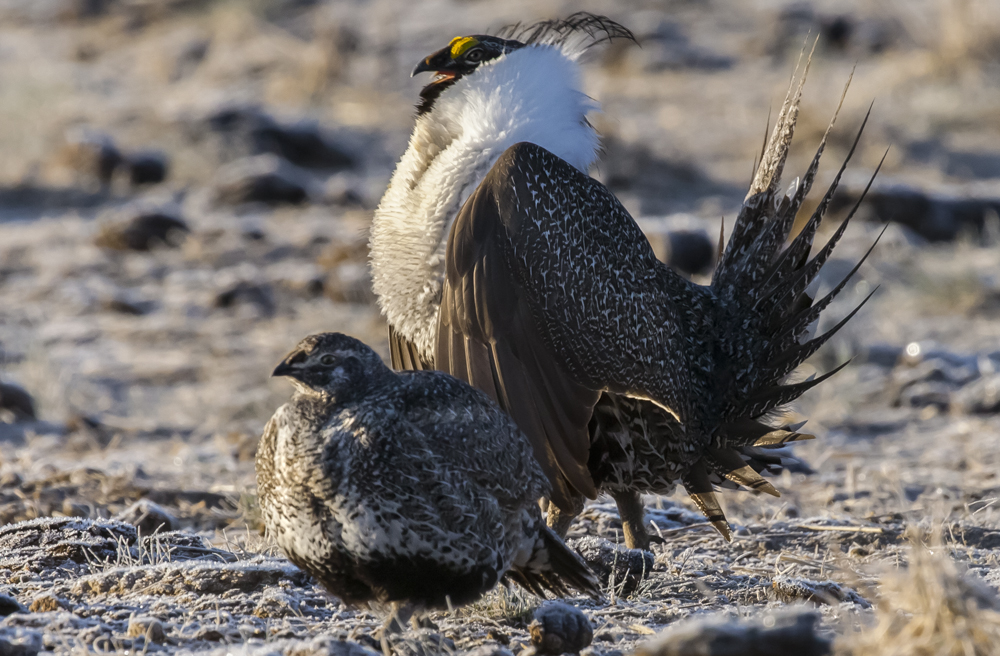 Male (top) and female (bottom) sage grouse (Centrocercus urophasianus). Rick McEwan, Sage Grouse Initiative
