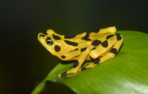A yellow frog with black spots sits on a green leaf