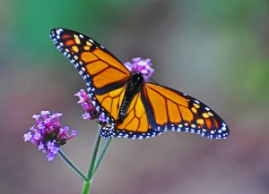 A monarch butterfly rests on purple flowers