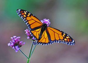 A monarch butterfly rests on purple flowers