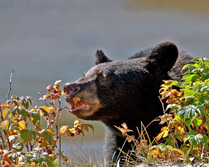 A black bear eating berries.