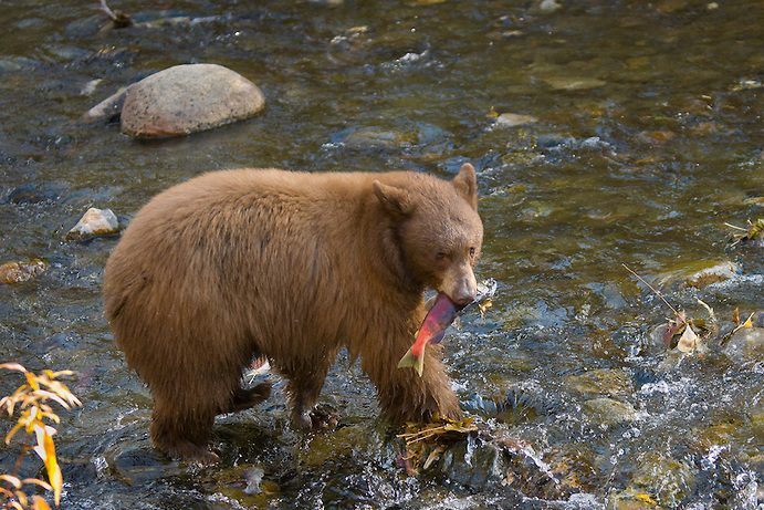 Black bear with salmon in its mouth