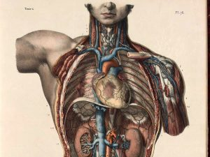 18th century medical illustration of the interior of a human male thorax and abdomen.