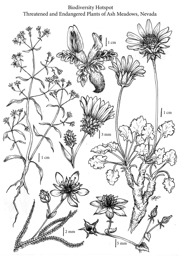 """""""Biodiversity Hotspot - Threatened and Endangered Plants of Ash Meadows, Nevada."""" Black and white pencil or pen-drawn plants, with millimeters designated for size and scale. There are tall leafy plants, small flowers, large flowers."""